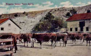 Jersey-cattle-Mexico-1910.jpg